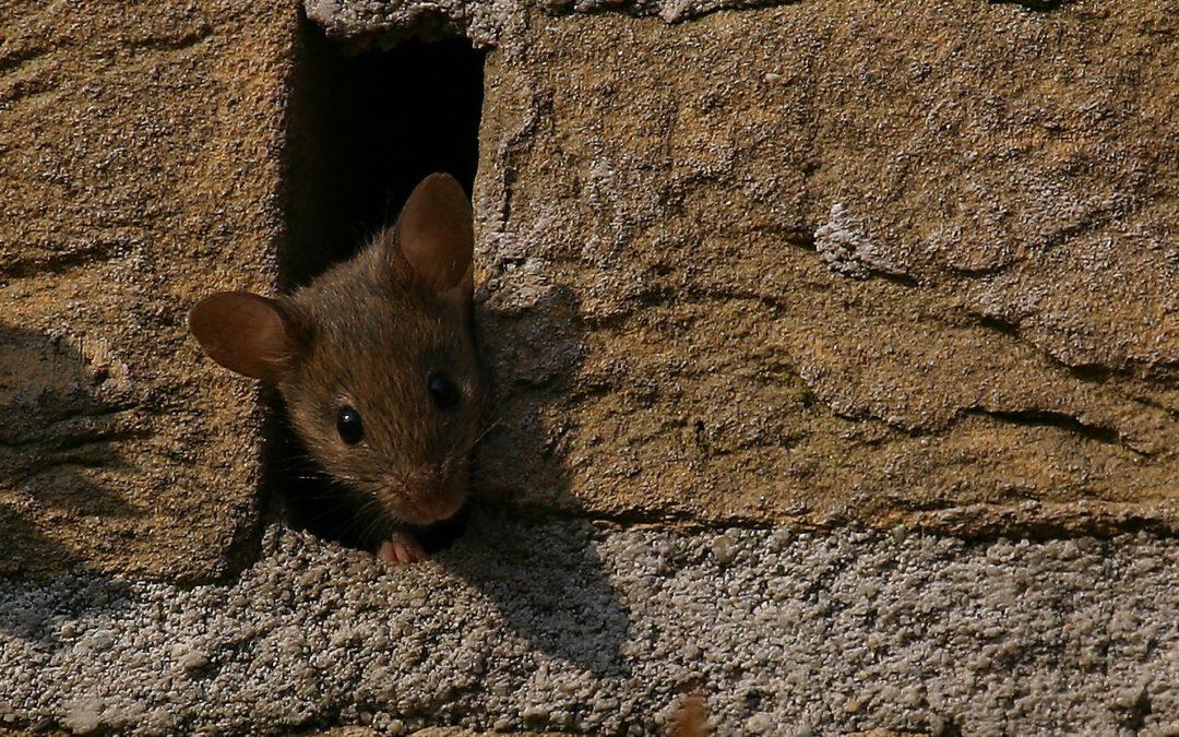 Het wemelt van de ratten en muizen in Oosterwold. Hoe krijg je ze weg?